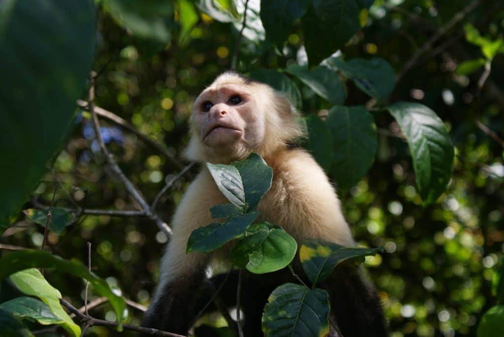 mono cariblanca en corcovado