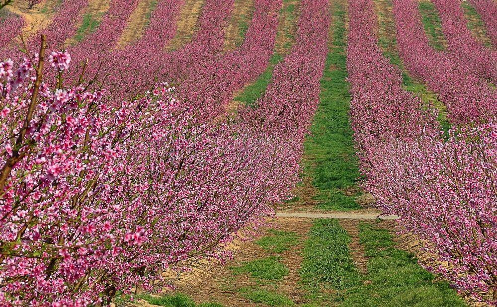 Melocotoneros en flor en Aitona, un paisaje espectacular
