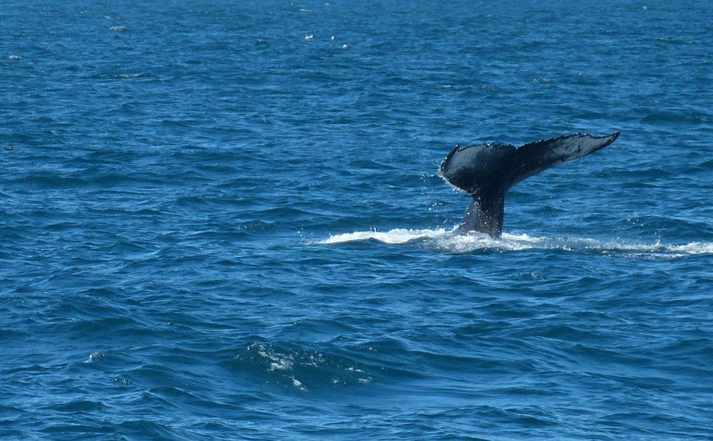 la carne de ballena es muy preciada en Islandia