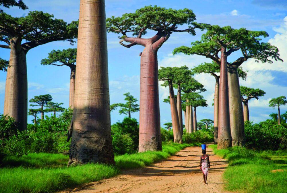 Avenida Baobabs